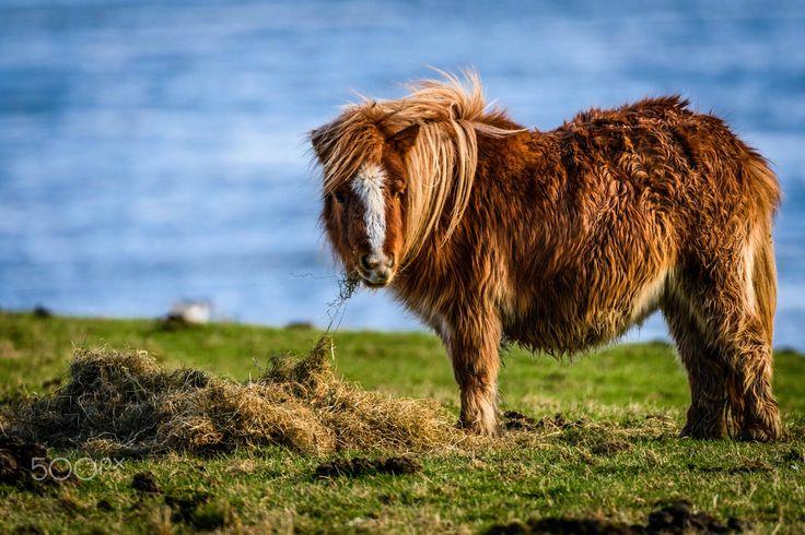 shetland - a shetland pony who got very wet in a rain storm