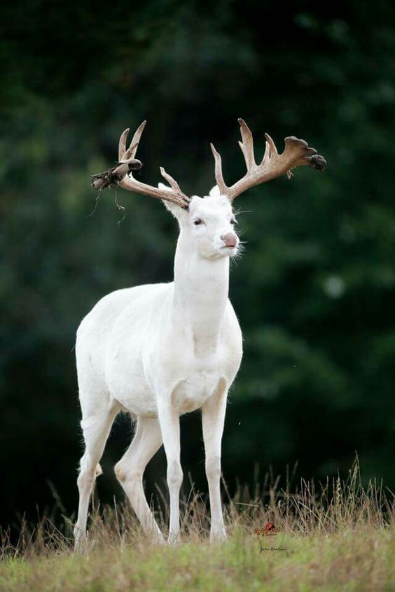 Wonderful Albino --in Michigan we had a Albino doe we protect her have a a fawn for 3-4 years! Then a hunter kitted her!: