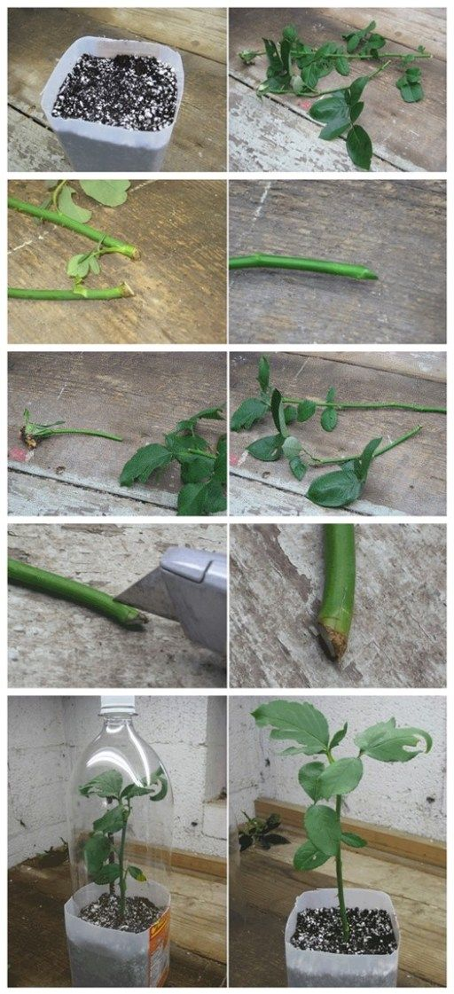 How to Root Roses From Cuttings   DIY Tag