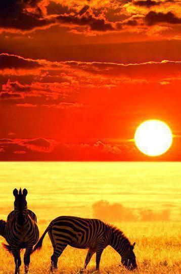 Zebras at sunset – what a sight to see!