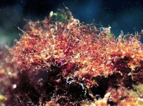 Algas Vermelhas – Rodofíceas São pluricelulares, principalmente marinhas, fixando-se no fundo (bentônicas). Existe apenas um gênero de algas vermelhas na água doce. Os plastos possuem clorofila, mas o pigmento predominante é a ficoeritrina, ocorrendo também a ficocianina. As algas vermelhas podem fornecer uma mucilagem chamada ágar utilizada como meio de cultura para bactérias e na indústria farmacêutica.