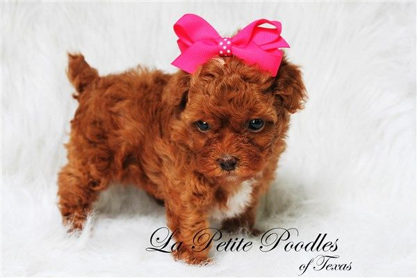 Teacup Poodles for Sale in Texas