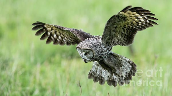 Great Grey Owl (Strix Nebulosa) focused on and close to the target with a nice green defocused background