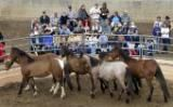 Wild Horse Adoption: BLM Mustang Auction