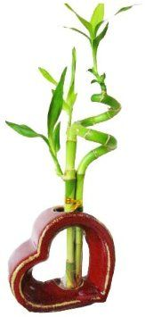 """Set of 2 Live Spiral 3 Style Lucky Bamboo Plant Arrangement withHeart Shape Ceramic Vase The stalks of this lucky bamboo are braided and twist to spiral style. This variety of lucky bamboo produces larger, greener leaves at the tips. Arrive with an elegant Heart Shape ceramic vase. Care Instruction included. The picture doesn't do justice to the size and beauty of this product. Lucky bamboo, botanically known as """"Dracaena sanderana"""""""