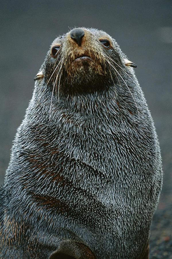 Antarctic Fur Seal Arctocephalus by Theo Allofs