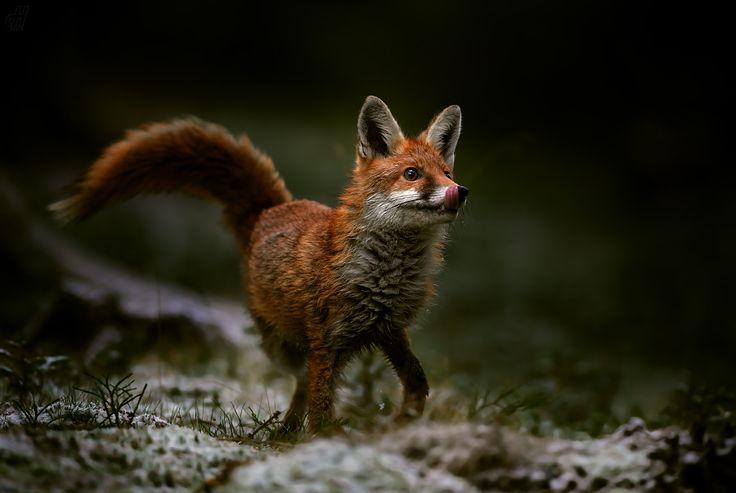 liška obecná - Vulpes vulpes