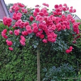 120 best mis rosas images on pinterest garden garden. Black Bedroom Furniture Sets. Home Design Ideas