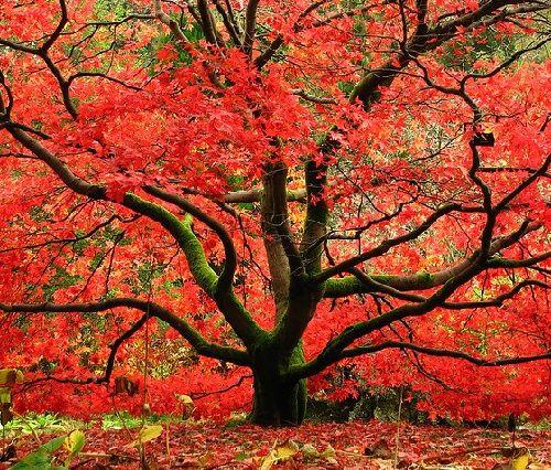 Гороскоп друидов дерево Клен     Зодиак кельтов. Люди рожденные под знаком Клена с 11 по 20 апреля и с 14 по 23 октября