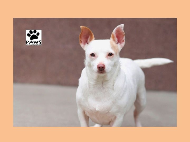 Pet of the Week:  Honey, a Chihuahua for Adoption