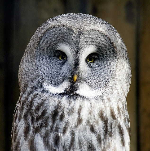 Great Grey Owl #Owl #BirdsofPrey #BirdofPrey #Bird of Prey