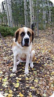 Denver, CO - St. Bernard Mix. Meet Katie, a dog for adoption. http://www.adoptapet.com/pet/13049903-denver-colorado-st-bernard-mix