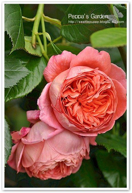 イングリッシュローズ 'サマーソング' (English Rose ' Summer Song')