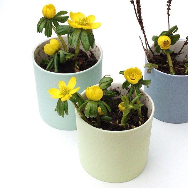 Tyvstjålet i naboens have.. #keramik #estherelisabeth #erantis #porcelæn #forår #løgkrukker #handmade #copenhagen #design #craft #gul #lime #forårsgrøn