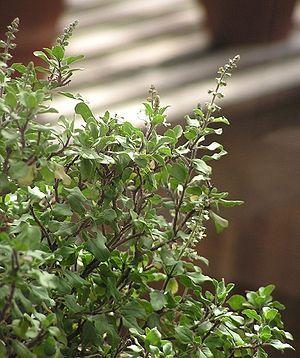 Indisches Basilikum (Ocimum tenuiflorum)