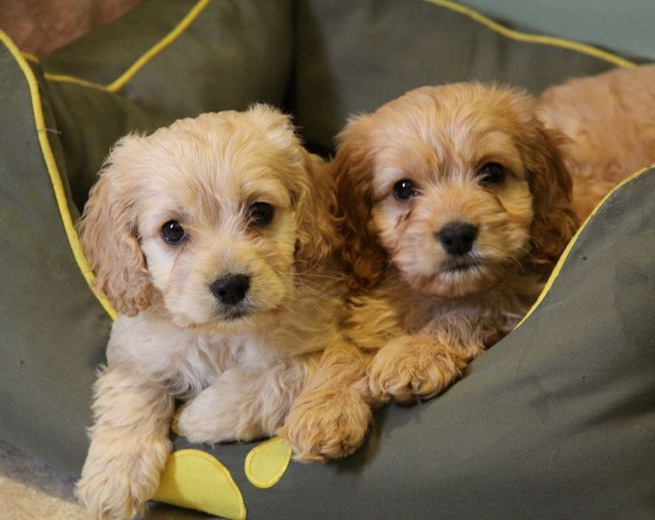 Teddy Bear Dogs For Sale In Ontario