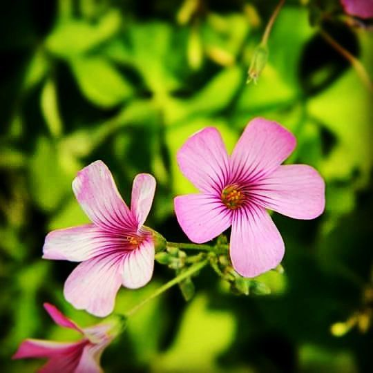 Not too sure what this flower is called but I do know it was imported from Ireland ☺#beautiful #organic #life #lifesbeautiful #lifesbeauty #pretty #prettyplants #prettyplant #natural #zoomin #zoom #closeup #closeups #potrait #greenplant #adorable #homegrown #flower #flowers #pinkflower #plant #pink  #cuteflower #simplethings #simple #cute #cuteness #cutepink #naturelovers #nature