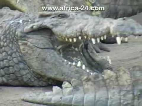 #RiverBend #CrocodileFarm video will give you a taste of what you can expect #WildLife #MeetSouthAfrica