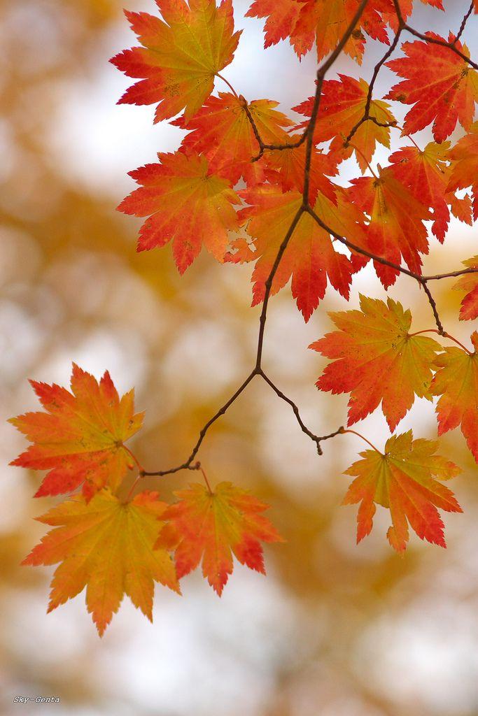 Maple Leaf Pathway Beautiful: Best 25+ Maple Leaves Ideas On Pinterest