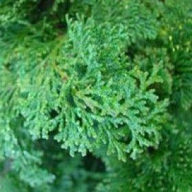 Compact Slender Hinoki False Cypress – Sheridan Nurseries