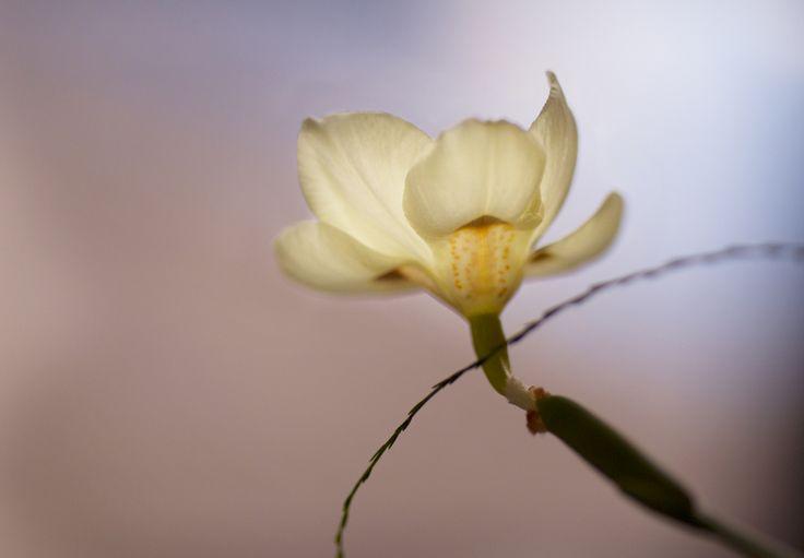 Dietes, indigenous orchid