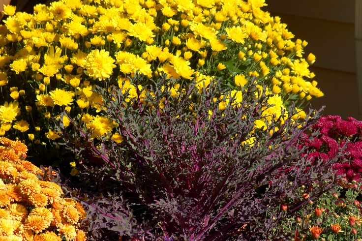 Chrysanthemums are at the heart of many fall displays in New England, USA, where I live. What would we do without them? Learn how to grow them and what the difference is between hardy mums and florist mums: http://landscaping.about.com/od/landscapecolor/p/chrysanthemums.htm