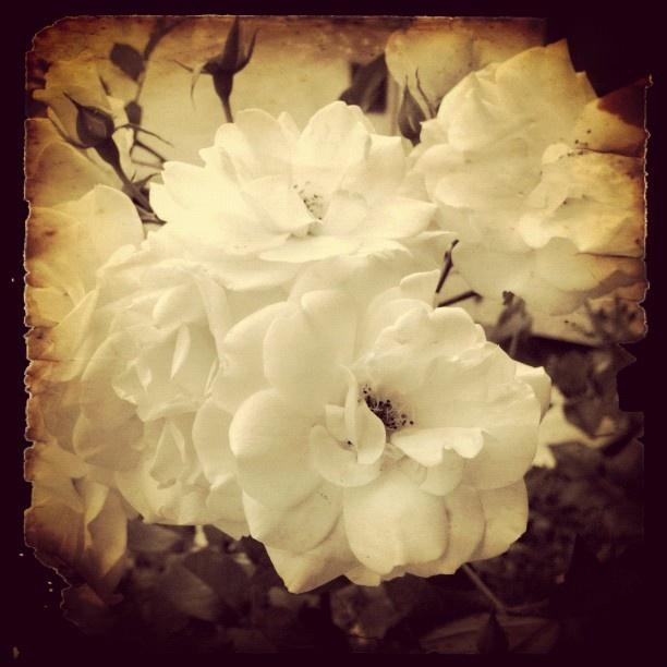 White ol' Roses...