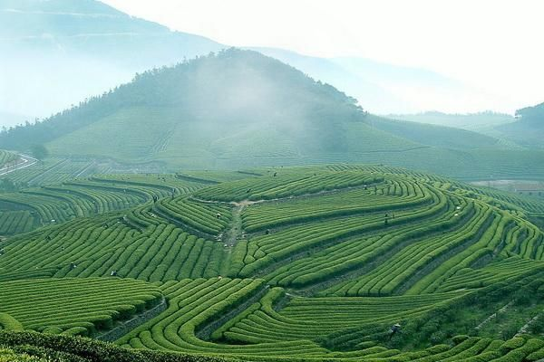 Green tea plantation, Hangzhou, China