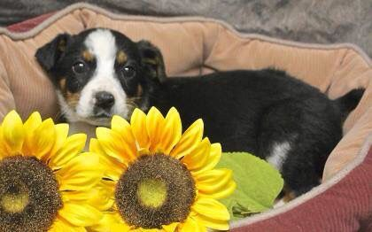 Marcus Is A 2 Month Old Pup Looking For A Furever Home Aussie Learn More At Www Thssc Org