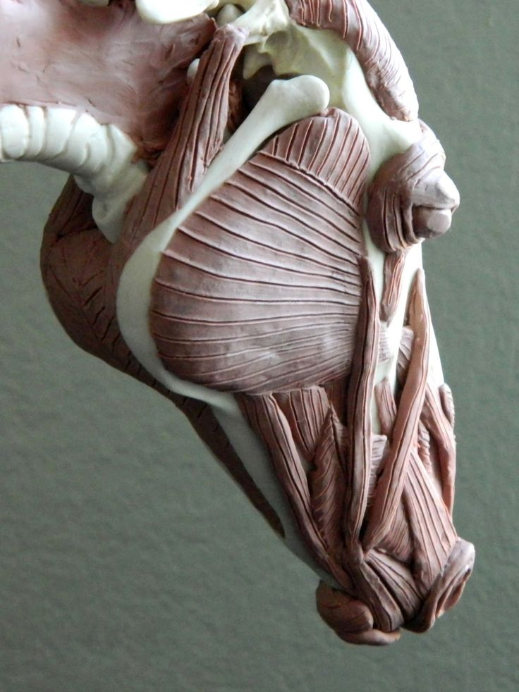 """Sarah O'Connell: Sculptures.  """"Horse Skeleton with added Muscles; Ongoing project"""""""