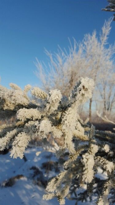 Frost in the spruce! Winter in Manitoba is beautiful!