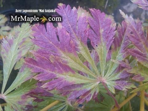 Buy Acer japonicum Mai kujaku Dancing Peacock Japanese Maple