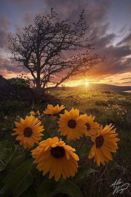 Balsamroot blooms on Oregon's Rowena plateau at sunrise.
