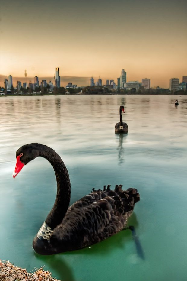 Melbourne-Daily-Photo-Blog-Albert Park- Animal- cbd- Lake- Sunset- Swan-AlbertPark_20120417_007