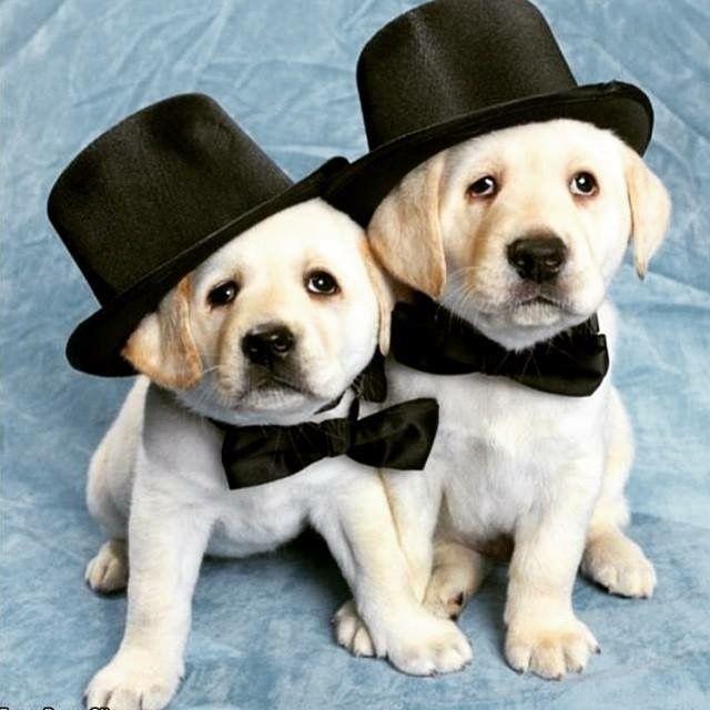Labrador Puppies Wearing Top Hats Bow Ties Puppies Cute