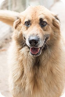 Pictures of Duke a Australian Shepherd/German Shepherd Dog Mix for adoption in Key Biscayne, FL who needs a loving home.