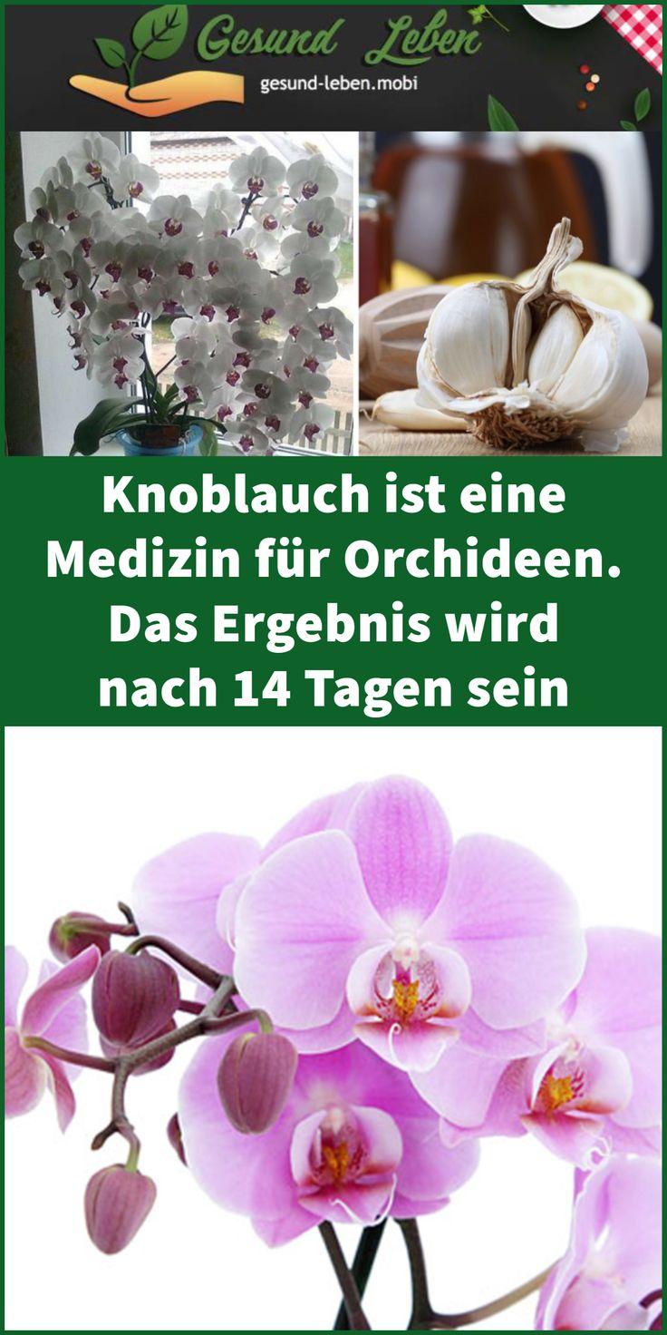 Knoblauch ist eine Medizin für Orchideen. Das Ergebnis wird nach 14 Tagen sein