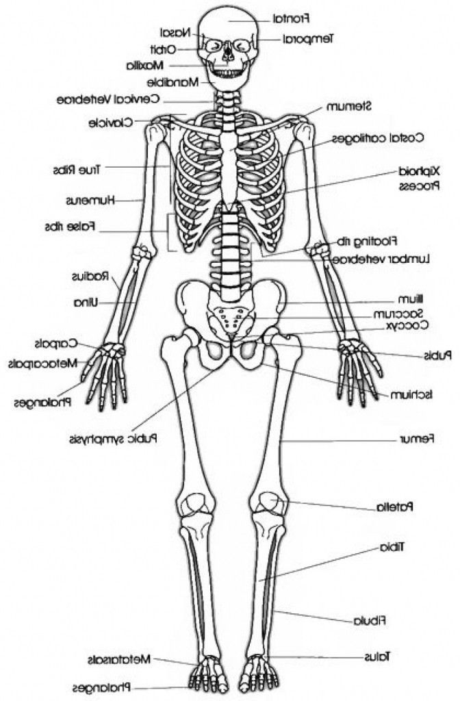 Simple Skeleton Diagram To Label Beautiful Simple Skeleton Drawing At Getdrawings Beautiful Diagram In 2020 Skeleton Drawings Simple Skeleton Drawing Skulls Drawing