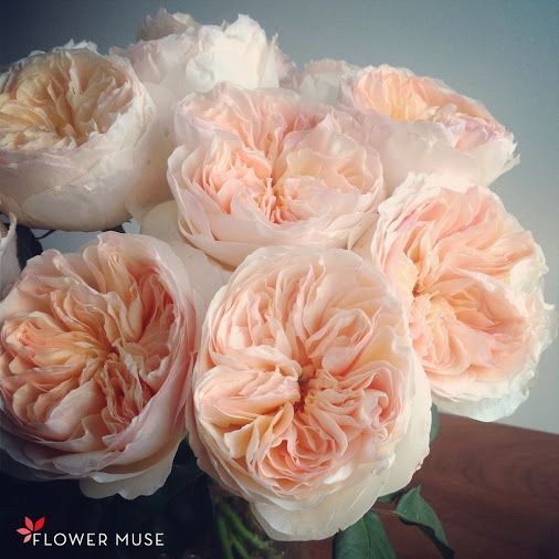 gorgeous light peach garden roses