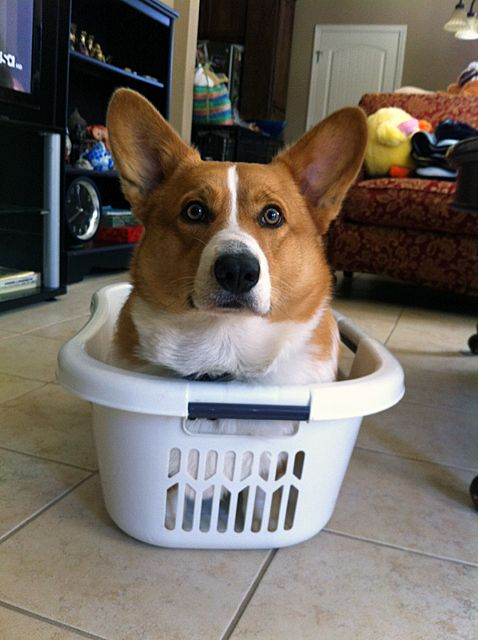 Corgi in a laundry basket, that's what.