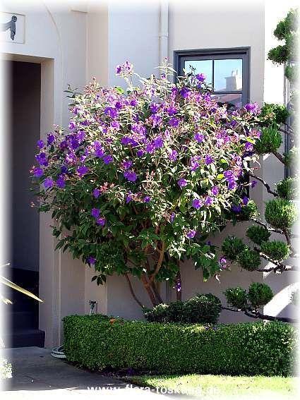 Tibouchina Princess Flower Patio Tree  Gardening  Patio