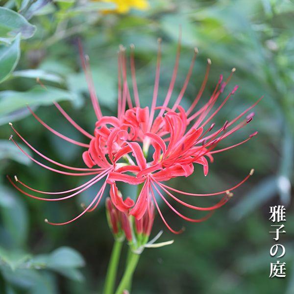 リコリス Spider lily