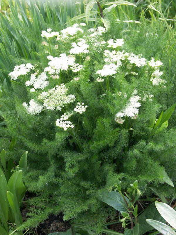 Изображение растения Meum athamanticum.