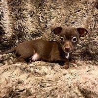 Lake Forest, California - Chihuahua. Meet Guinness, a for adoption. https://www.adoptapet.com/pet/19969763-lake-forest-california-chihuahua-mix