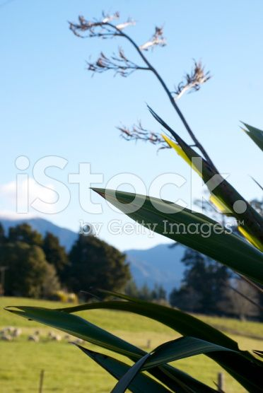 Rural Scene with Harakeke (New Zealand Flax) royalty-free stock photo