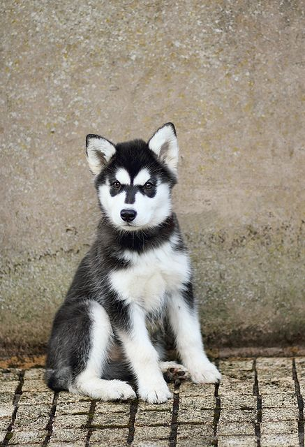 Husky Puppy; 12 weeks (Explored) by david_killeen, via Flickr
