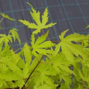 Japanse Esdoorn Acer Palmatum Anne Irene Tuti Acer Palmatum