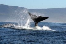 Southern Right Charters, Overberg. Join Southern Right Charters for close encounters with the 'gentle giants' of the ocean and other marine life. Southern Right Charters departs daily from our private floating jetty in Hermanus, the capital of the Whale Coast.