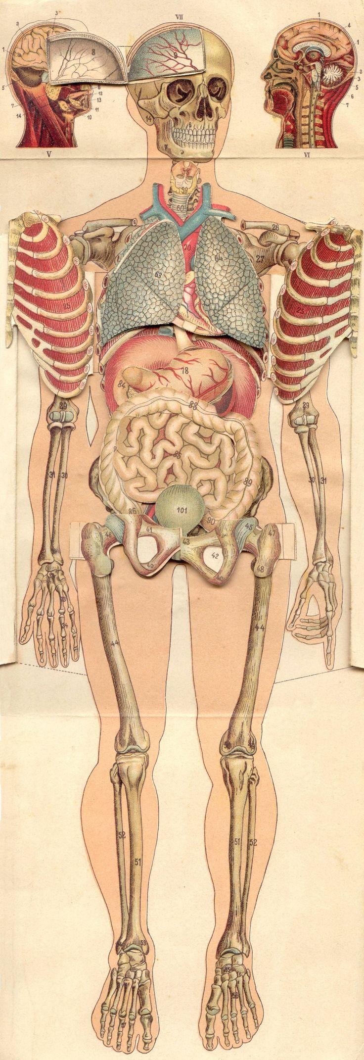 419 best anatomia images on Pinterest | Anatomy, Human anatomy and ...