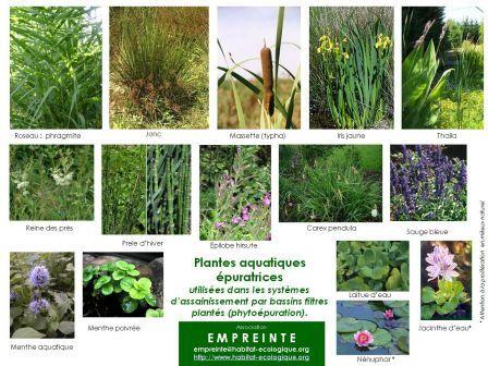 Plantes pour phytoépuration